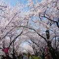 4月になったばかりだけど、桜散る淋しさあり🌸